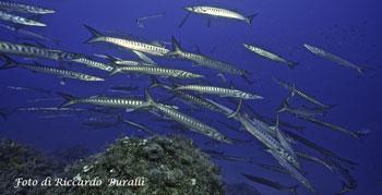 Elba Island, Pianosa, sea, fish