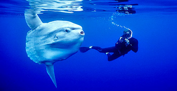 "Picture of: Meeting with Elba's ""Divers"": The Sunfish"